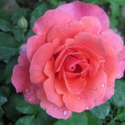 Розы Александерс Исси