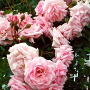 Розы Диадем
