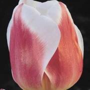 Тюльпаны Анна Хосе