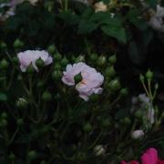 Розы Фэйри