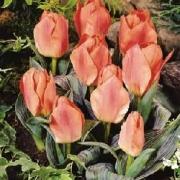 Тюльпаны Блессинг