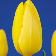 Тюльпаны Сан Чайлд