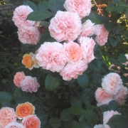 Розы Чиппендейл