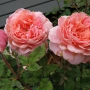Розы Франсис Блейз