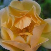 Розы Амбер Сан