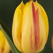 Тюльпаны Ида