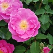 Розы Барок Флоршоу
