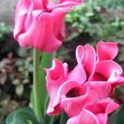Тюльпаны Пикче