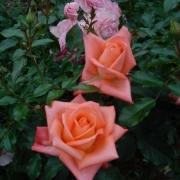 Розы Тобаго