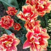 Тюльпаны Фрингед Бьюти