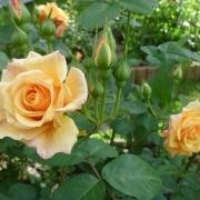 Розы Постиллион
