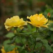 Розы Изи Гоуинг