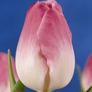 Тюльпаны Роуз Суприм