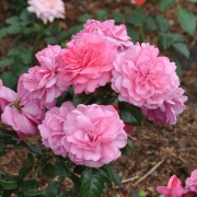 Розы Берлебург