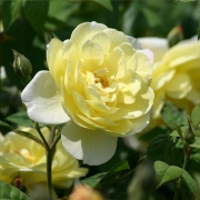 Розы Блит Спирит