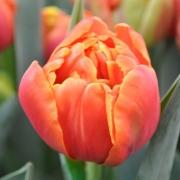 Тюльпаны Куинсдей