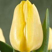 Тюльпаны Синт Панкрас