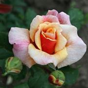 Розы Карамелла