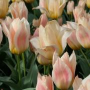 Тюльпаны Фюр Элиз