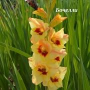 Гладиолусы Бочелли