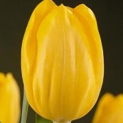 Тюльпаны Кристмас Йеллоу