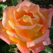 Розы Лиане