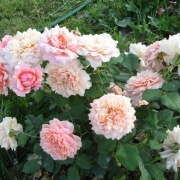 Розы Фестиваль де Жардинс де Шамонт