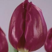 Тюльпаны Димитер