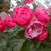 Розы Ангела