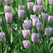 Тюльпаны Кэнди Принц