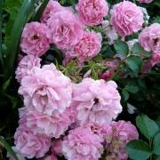 Розы Хайдеконигин