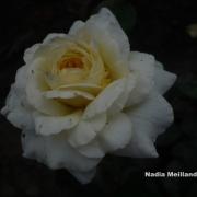 Розы Надя Меилландекор