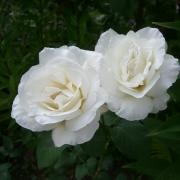 Розы Шопен