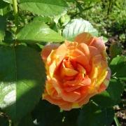 Розы Импрессионист