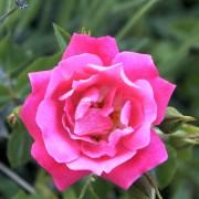 Розы Хейдетраум