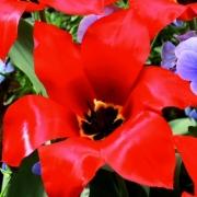 Тюльпаны Эйхерли