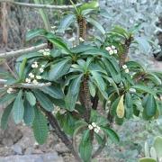 Комнатные растения Эуфорбия (молочай)