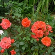Розы Хэнд ин Хэнд