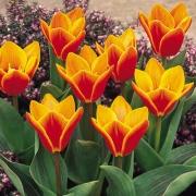 Тюльпаны Эарли Харвест