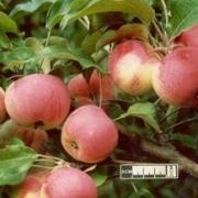 Яблоня Стройное