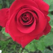 Розы Ветеранс Хонор