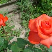 Розы Холстейнперл