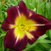 Daylily Night Beacon