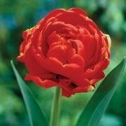 Тюльпаны Дуббель Рудкапье