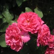 Розы Мария Ренессанс