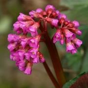 Многолетние растения Бадан