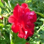 Розы Пусста