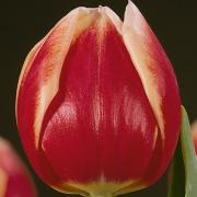 Тюльпаны Карлскрона