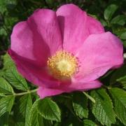 Розы Йестедэй