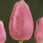 Тюльпаны Капри Дрим